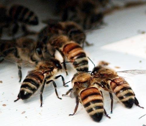 bees_500x432.jpg