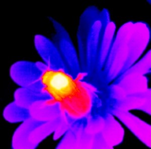 Thermogram of bumblebee on flower